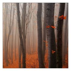 LOVE Fall/Autumn - the colors and the use of the lighting, fog and trees as verical lines provides so much interest in this photo