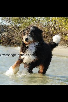 Bernedoodle from Swissridge kennels.