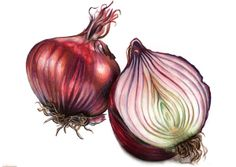 Onion Drawing, Food Drawing, Botanical Drawings, Botanical Art, Watercolor Fruit, Watercolor Paintings, Watercolours, Fruit Sketch, Vegetable Painting