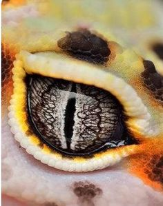 If looks could kill gid ferrer like this гекконы, глаза 및 ящерицы. Les Reptiles, Cute Reptiles, Reptiles And Amphibians, Nature Animals, Animals And Pets, Cute Animals, Eye Photography, Animal Photography, Beautiful Creatures