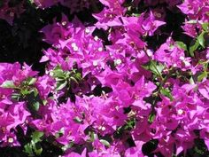 Dézsásnövények Bougainvillea, Gardening, Greece, Plant, Garten, Lawn And Garden, Garden, Square Foot Gardening, Garden Care