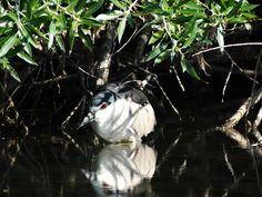 Black-crowned White Heron hiding from sight. Photo by Larry Heath.