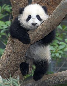 画像 : おもしろかわいいパンダ写真集【癒し】 - NAVER まとめ