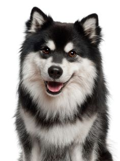 One of the new breeds introduced at the Westminster Dog Show this year: the Finnish Lapphund makes a debut in the Herding Group.