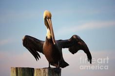 """""""Mighty Pelican"""" © Carol Groenen is for sale on Fineartamerica.com as greeting cards, framed prints, canvas prints and acrylic prints.  #pelicans #beachtheme #pelican #birds"""