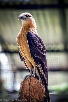 Eagle in Summit Park, Panama Canal Zone Panama Canal, Falcons, Hawks, Eagles, Animals, Eagle, Animaux, Animal, Animales