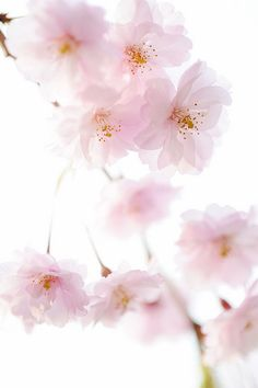 - you're not the only one - pink flowers. Pink Flowers, Pretty In Pink, Beautiful Flowers, Sakura Cherry Blossom, Japanese Cherry Blossoms, Deco Floral, Spring Blossom, Ikebana, Mother Nature
