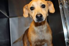 Layla: Beautiful JRT/Chi mix available July 27 at high-kill upstate shelter RESCUED