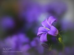bellflower - For a better view click on the image or press M please !