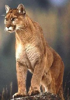Northern South American Cougar (LC)