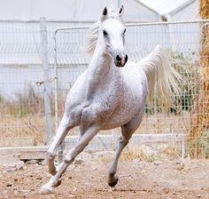 Al Hambra B (Salaa el Dine  x  228 Ibn Galal I) 1998 grey mare - Straight Egyptian; Dahman Shahwan Strain; deceased