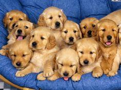 Golden Retrievers!