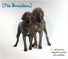 The Fila Brasiliero (also known as the Brazilian Mastiff or Brazilian Molosser) is a large working dog that originated on the plantations and cattle farms of Brazil. He was originally used to guard the estates from predators, and his guardian instincts are still very strong today.
