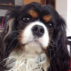 Cavalier Athos- Hi  ♥