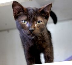 Blackberry is an adoptable Domestic Short Hair-Black Cat in Charles City, VA. 'Blackberry' needs her furever, loving home. This precious gal is about 8-10 weeks old and weighs about 3 pounds. Blackb...