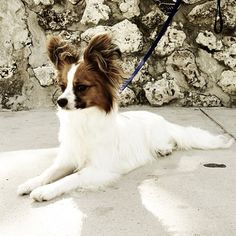 """Pretty sable & white Papillon """"Butterfly"""" Puppy."""