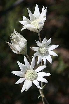 Australia Native - Flannel flower, a long time favourite Australian Wildflowers, Australian Native Flowers, Australian Plants, Australian Bush, White Flowers, Beautiful Flowers, Faux Flowers, Flannel Flower, Australian Native Garden