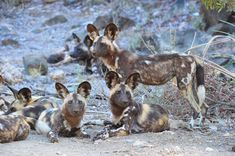 Wild Dogs at Ngobeni Long Loop, image taken on self-drive in the Phalaborwa area Kruger National Park, National Parks, African Wild Dog, Apex Predator, Wild Dogs, Leopards, Hunting Dogs, Dog Walking, Wildlife Photography