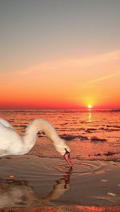 Swan sipping water at sunset - Flickr - Photo Sharing!
