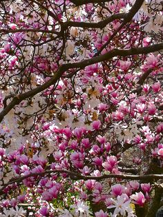 NYC magnolia blossoms from Dominique Browning