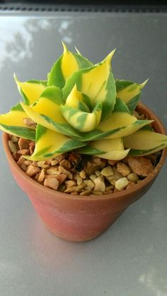 Agave compact