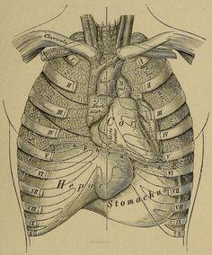 The position of organs in the thorax. from Die descriptive und topographische Anatomie des Menschen, 2. ed. von C. Heitzmann. Published 1875.