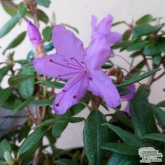 Rhododendron 'Drake's Mountain' is an alpine rhododendron that sports beautiful vibrant purple flowers in the spring, and is suitable for small places due to its compact size.