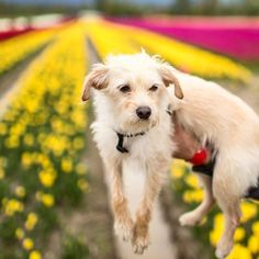 Just hanging out in a tulip field ...
