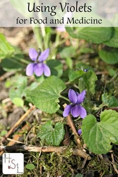Herbalism ~ Violets are a beautiful spring flower with many incredible uses. Make the most of these harvests by using violets for food and medicine. Healing Herbs, Medicinal Plants, Natural Healing, Herbal Medicine, Natural Medicine, Medicine Garden, Permaculture, Edible Wild Plants, Herbs For Health
