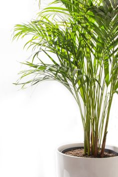 Houseplants to Improve Indoor Air Quality Improve your home's indoor air quality—and your overall mood—with an easy-to-grow houseplant.Improve your home's indoor air quality—and your overall mood—with an easy-to-grow houseplant. Indoor Trees, Potted Trees, Indoor Plants, Indoor Gardening, Palm Trees, Ficus, Areca Palm Care, Bamboo Palm, Gardens