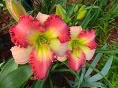 Daylily (Hemerocallis 'Marilyn Lee Bock') uploaded by mattsmom