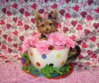 MICRO Tiny Teacup Puppy