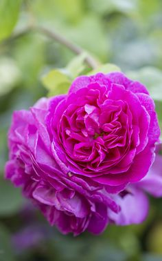 Scented roses: 'Young Lycidas' has a vibrant, tea scent with a hint of sandalwood, held on a bushy shrub growing up to 1.5m.