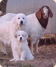 Wild Ed's Texas Outdoors: Livestock Guardian Dogs in Texas Pyrenees Puppies, Great Pyrenees Puppy, Dogs And Puppies, Maremma Sheepdog, Maremma Dog, Animals And Pets, Cute Animals, Boer Goats, White Dogs