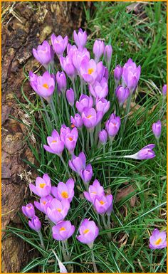 Purple Spring Blooming Crocus