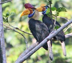 Knobbed Hornbill, Hornbill family Bucerotidae