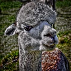 The Alpaca.....looks like you, David!! ;)