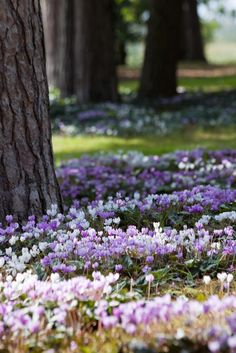 Don't miss these glorious cyclamen drifts in the Pinetum at RHS Garden Wisley. http://rhs.org.uk/wisley pic.twitter.com/y6F6zvH4CB