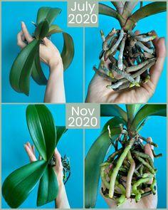 Nature Plants, Garden Plants, Indoor Plants, House Plants, Indoor Orchids, Orchid Roots, Orchid Leaves, Orchid Flowers, Orchid Plant Care