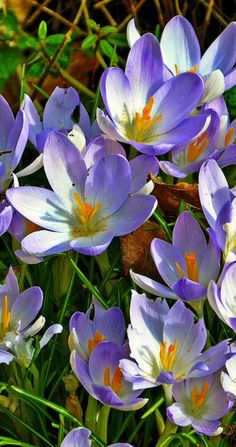 Crocus  -- #spring #flower #CardeApp