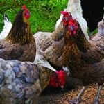 Mixed flock of backyard chickens