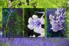 Combines some of my recent Bluebell images in a 'Triptych'format.