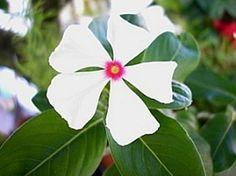 Catharanthus roseus, Boa-noite, Bom-dia, Maria-sem-vergonha, Vinca-de-gato, Vinca-de-madagascar