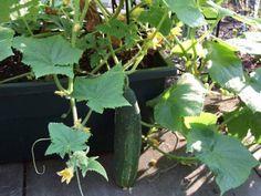 Cómo cultivar Pepinos  La ensalada mediterránea típica no es tal si no lleva pepinos. Otros platillos que tienen este ingrediente son los encurtidos en vinagre. Al Norte de Europa la sopa de pepino se consume en cada casa. ✨ Si te gusta mucho este vegetal y tienes una huerta en casa no dudes en leer el siguiente artículo donde os enseñaremos cómo cultivar pepinos en casa ➡ Link en la imagen!!  #SiendoSaludable #cultivarPepinos #Pepinos #plantarrepepinos