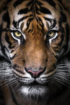 I don't know what it is about tigers. They always seem to have such an intense look that's mesmerizing.