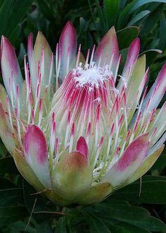 Protea Flower by Pamela Walton