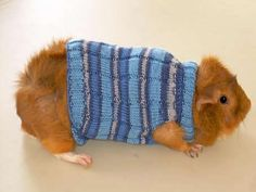 Download article as PDF I couldn't resist creating this sweater for my guinea pig… not that he really needs one! A couple of months ago, I was a bit bored and wanted something to do with this blue yarn that I have. So I decided to knit a sweater for my guinea pig, Nicholas. I …
