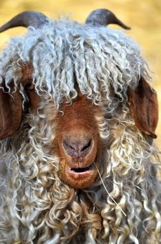 Angora Goat. They shave you without harm, and it comes back. That's good, but I am allergic to you! LOLOLOL
