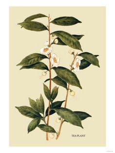 Tea plant - Camelia Sinensis  This is why Camelias will always, always be my favourite plant.