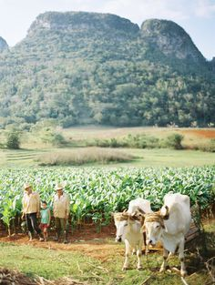 Tobacco Farm in Vinales Cuba - Entouriste Cuba Travel, Travel Abroad, Cuba Photography, Nature Photography, Cuba History, Animal Agriculture, Vinales, Holiday Travel, Tourism